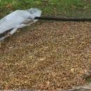Съхранение на дъбов жълъд на проветриво и сечесто място. Жълъдите са разтлани на тънък слой (против посъхване и спарване)